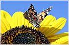 Distelfalter auf einer Sonnenblume