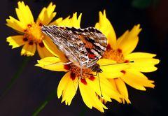 Distelfalter auf gelber Blüte