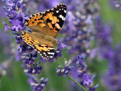 Distelfalter auf Lavendel...