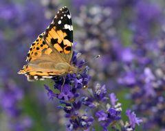 Distelfalter auf Lavendel (2)