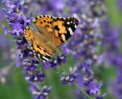 Distelfalter auf Lavendel (3)