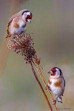 Distelfinken im Herbst