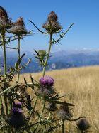 Disteln auf dem Monte Baldo