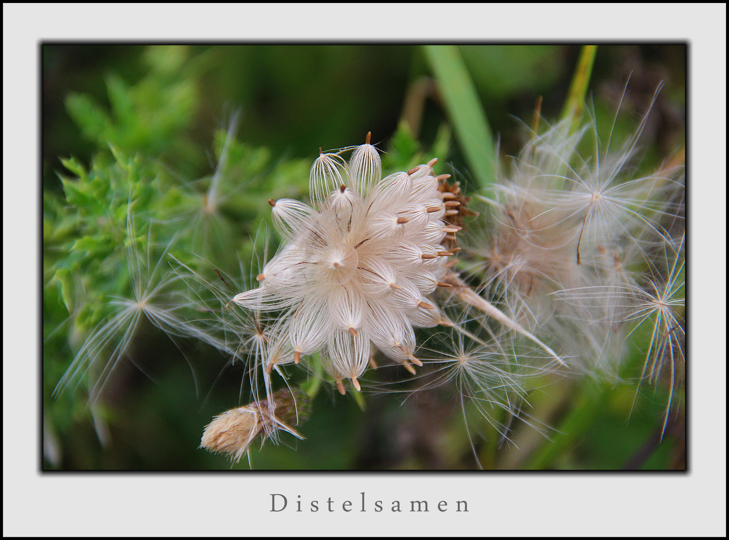 Distelsamen - Explosion