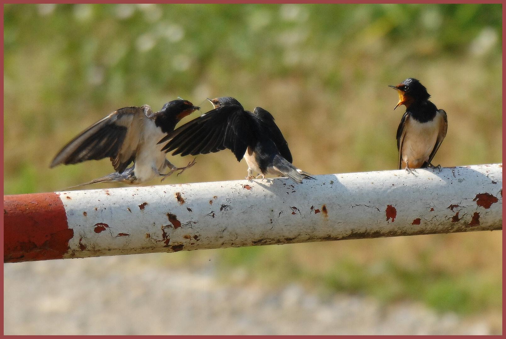 distribuzione rancio a base di libellule azzurre ai piccoli di rondini