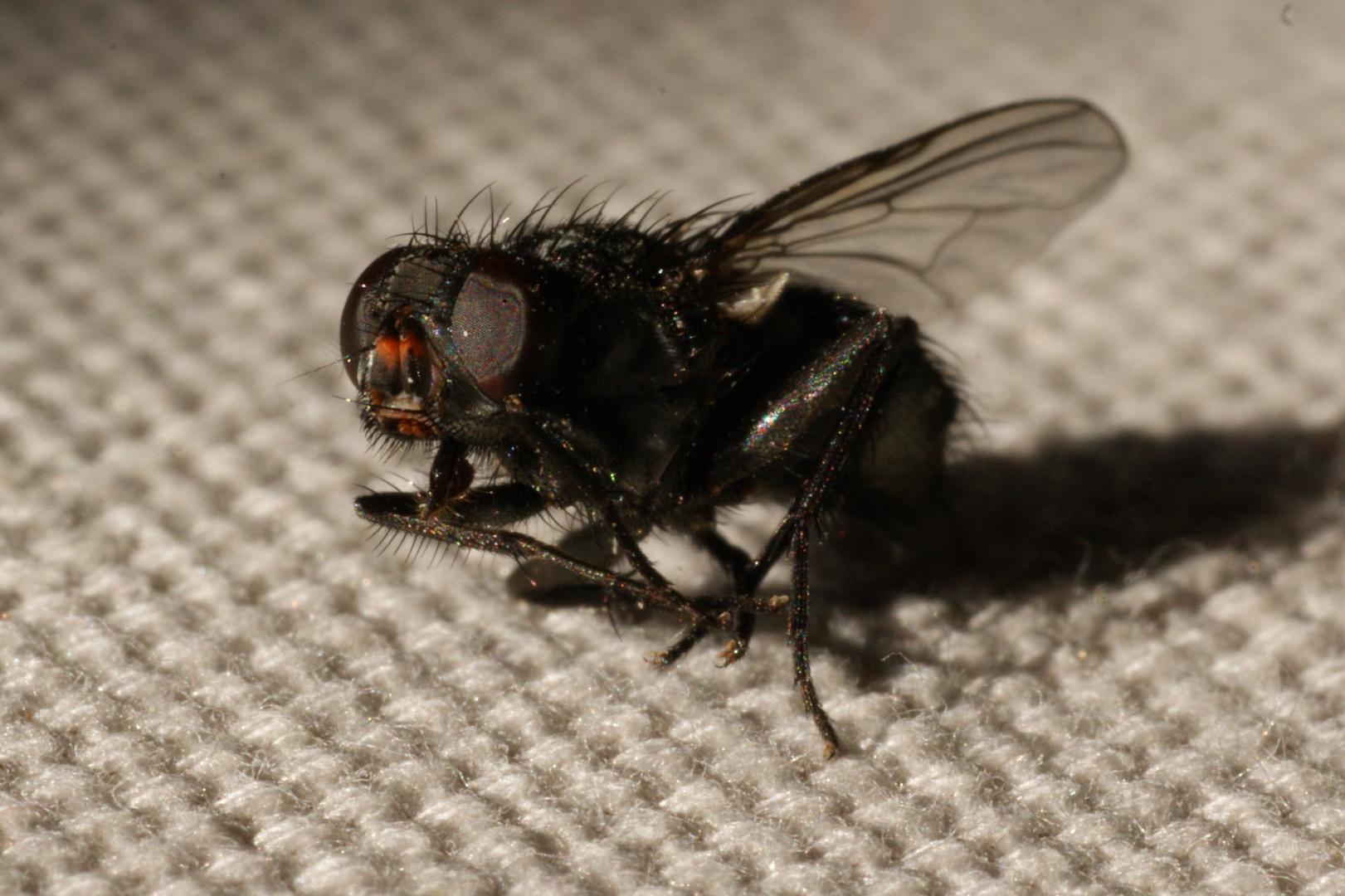 dit... ça ressemble a quoi une mouche???
