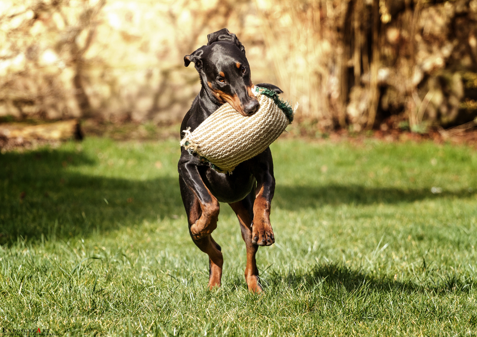 Doberman in Action
