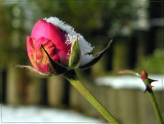 Doch Blumen, deren Saft uns blieb II