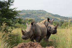 doch keine Black Rhinos