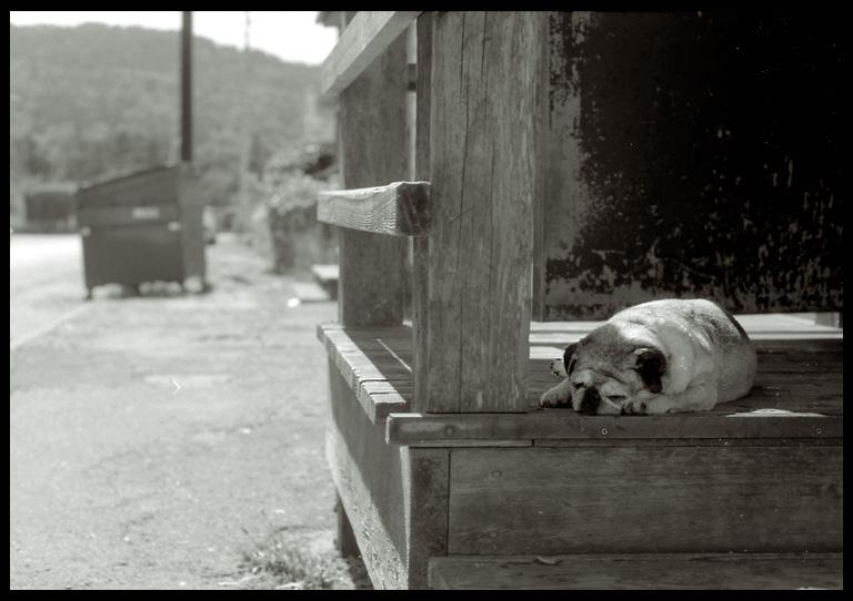 Dog in Heat