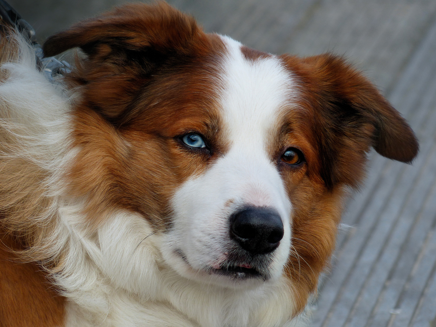 Dog with different colored eyes
