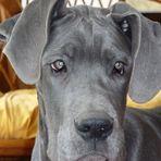 Dogge Blue mit 5 Monaten
