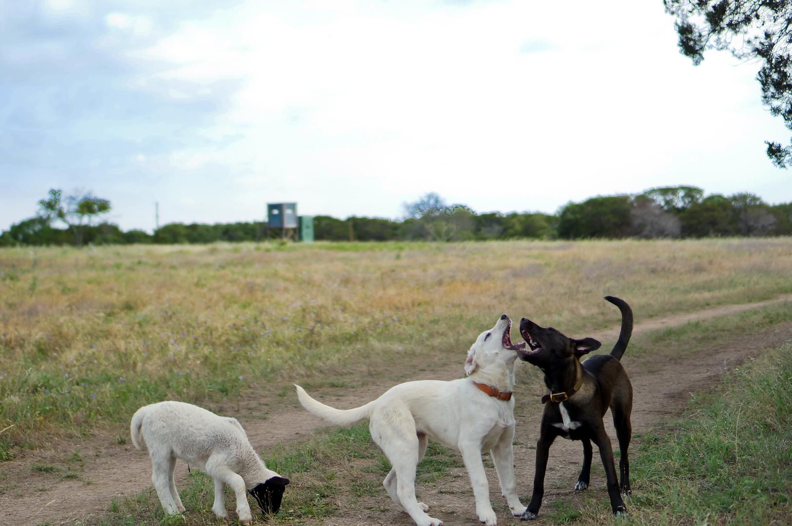 dogs and sheep // hunde und schaf