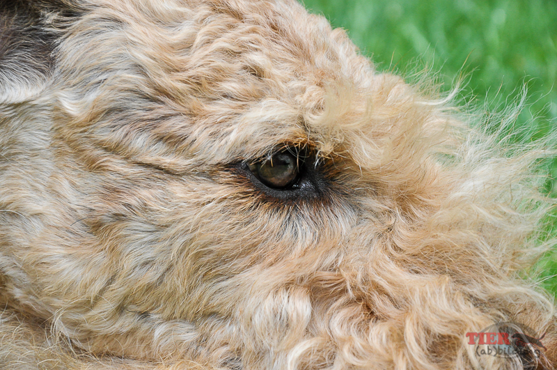 Dogs Eye - Airedaleterrier