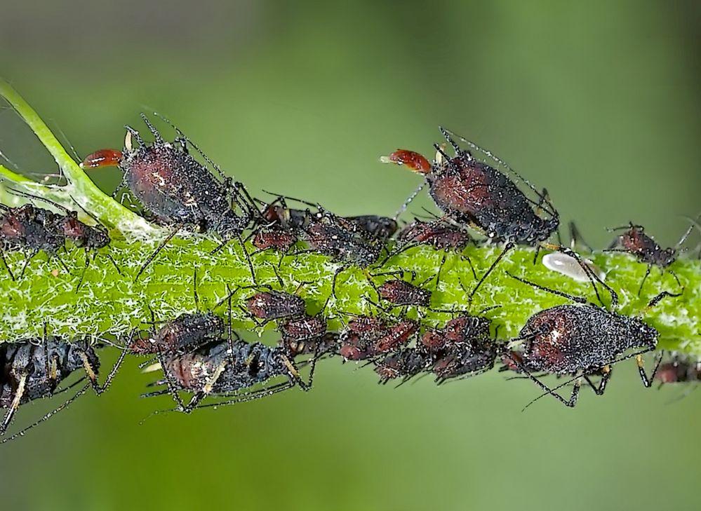 Doku: Zwei Blattläuse erblicken das Licht der Welt... - Naissances chez les pucerons...