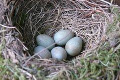 Dokumentation: Eine Amselfamilie entsteht (1) - Fünf Eier im Nest