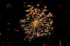Dolden-Feuerwerk (gelb)