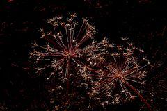 Dolden-Feuerwerk (rot)