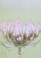 Doldenblütler