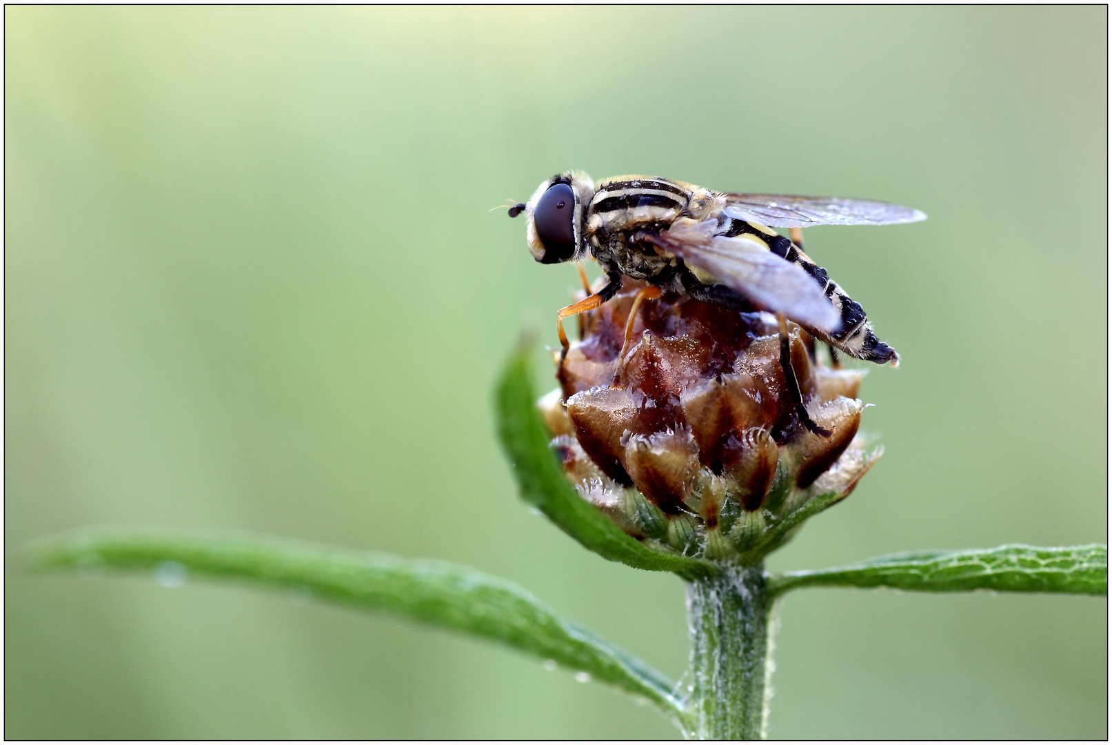 Doldenschwebfliege