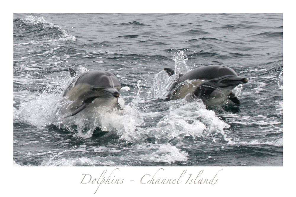 Dolphins - Channel Islands - California 3