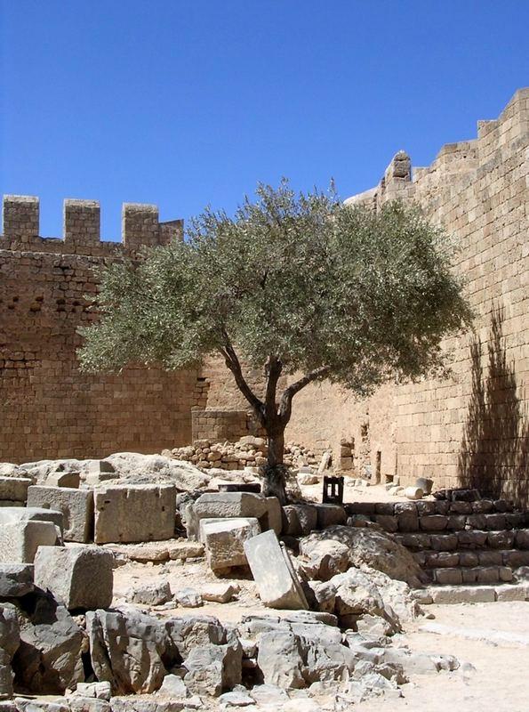 Dominant - Olivenbaum auf der Akropolis von Lindos