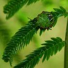 dominante verde
