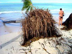 Dominikanische Republik - Durch den Sturm entwurzelte Palme