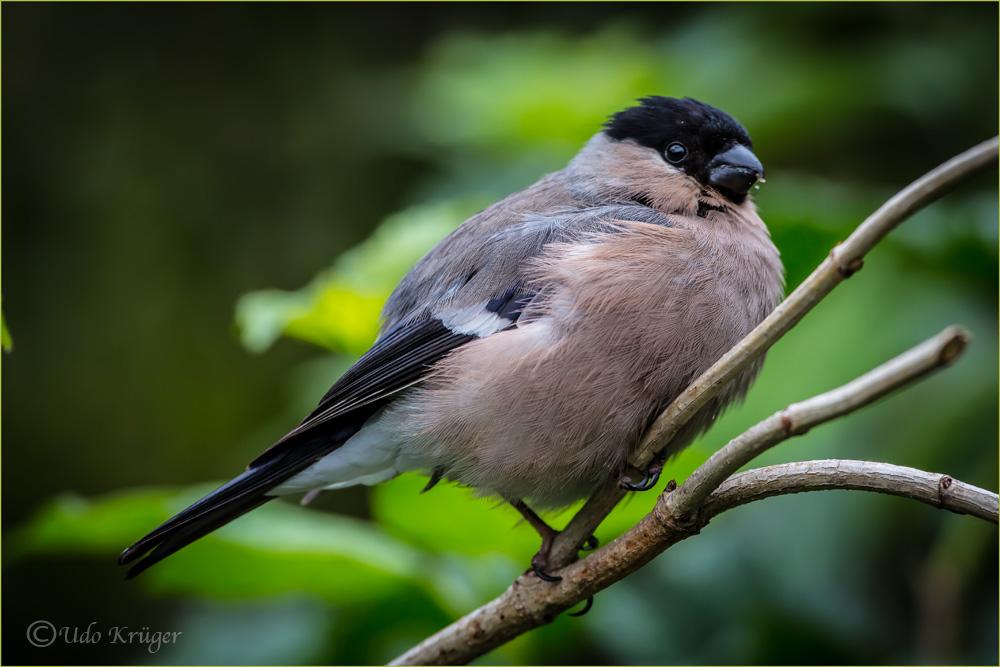 Dompaff (Gimpel) Weibchen