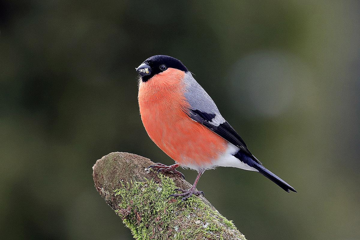 Dompfaff (male)