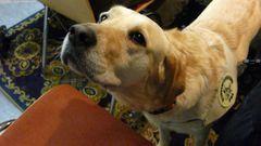 Donna -Blindenführhund