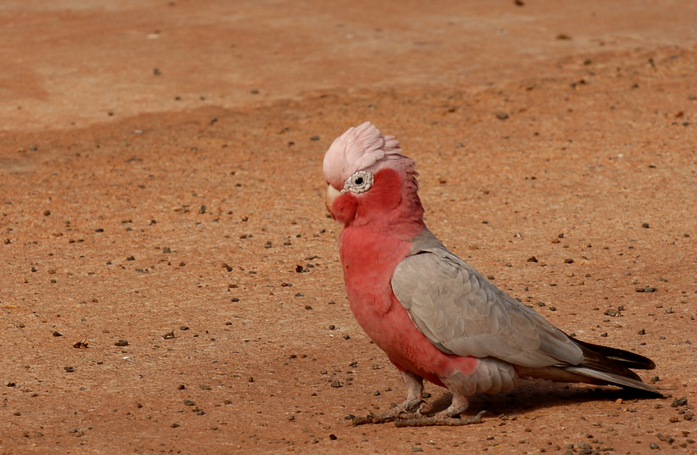 Don't Be a Galah!! Regarded as the dumbest bird in Australia.