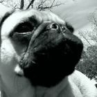 Doodle the Pug