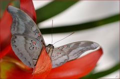 Dophla evelina laudabilis