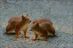Doppel - Hörnchen ...