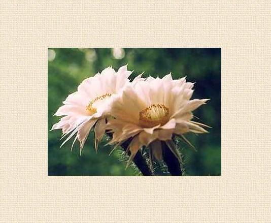 Doppelblüte bei Echinopsis silvestrii