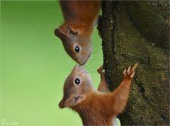 Doppelhörnchen ...