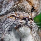 DOPPELLUX - Lynx lynx *bittenichtganzsostürmisch*