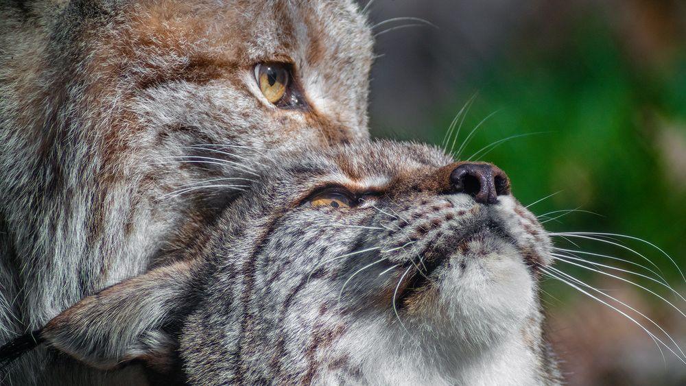 DOPPELLUX - Lynx lynx  *ganzstillhalteundgenieße*