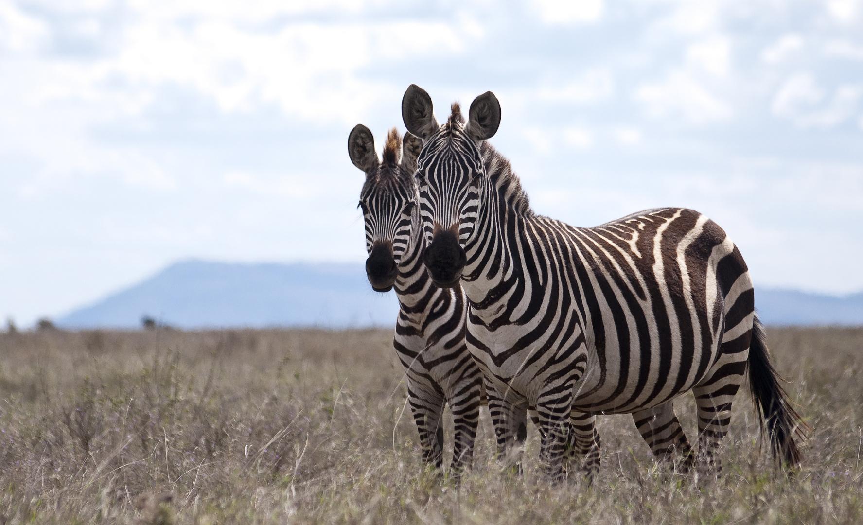 Doppeltes Zebra