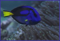 Dori, äh Paletten-Doktorfisch (Paracanthurus hepatus)