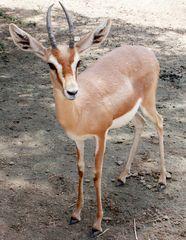 Dorkasgazelle (Gazella dorcas), Kuwait Zoo, Staat Kuwait
