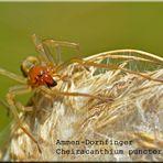 Dornfinger-Spinne
