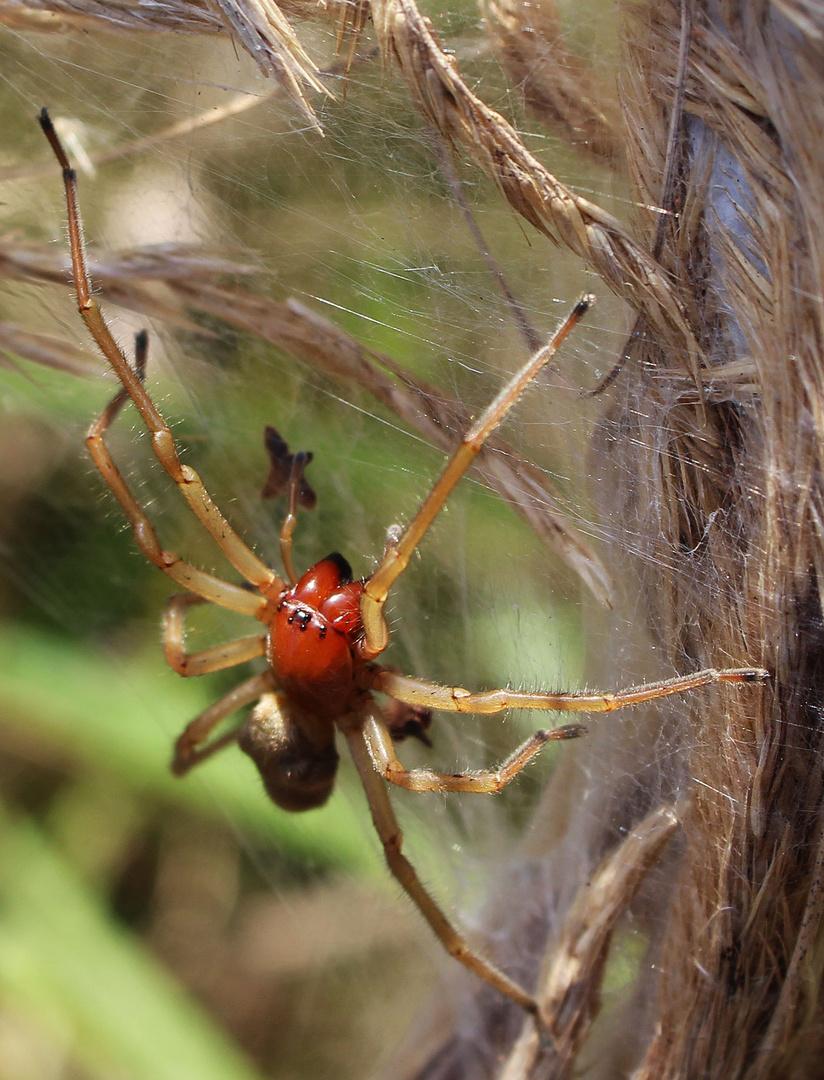 Spinne Dornfinger