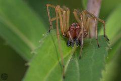 Dornfinger Spinne (Cheiracanthium punctorium)