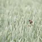Dorngrasmücke auf Korn