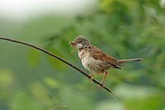 Dorngrasmücke (Sylvia communis)