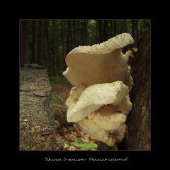 Dorniger Stachelbart - Hericium cirrhatum