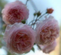 Dornröschens schönste Blüten