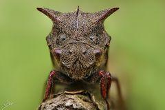 Dornzikade (Centrotus cornutus)